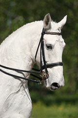 white horse wearing English riding tack